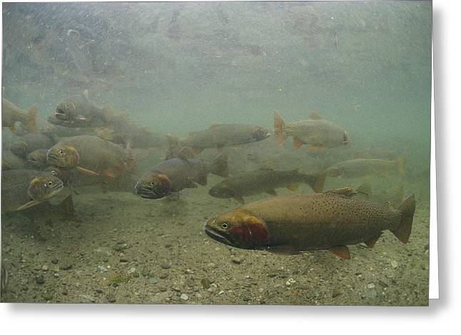 Cutthroat Greeting Cards - Cutthroat Trout Swim Greeting Card by Michael S. Quinton