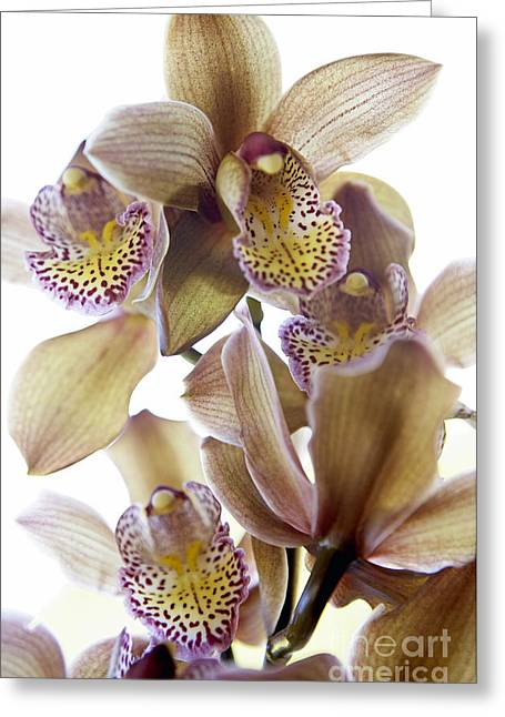 Cymbidium Orchid Flower Greeting Card by Kyle Rothenborg - Printscapes