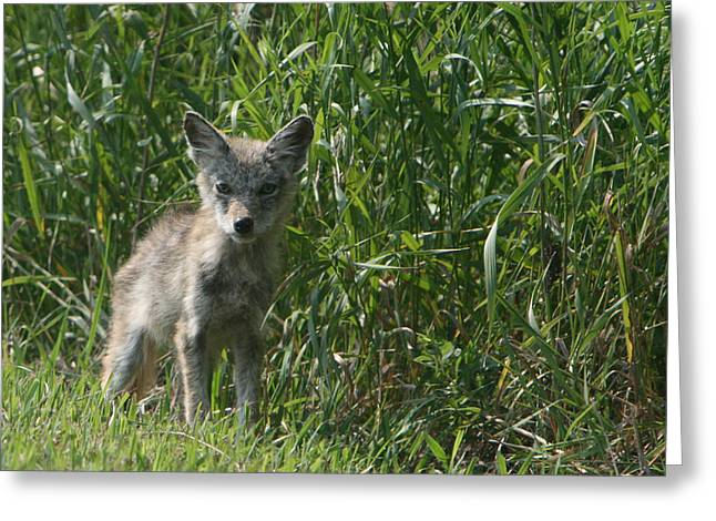 Cyote Pup Greeting Card by Dave Clark