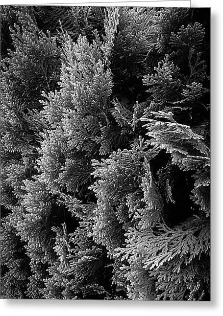 Cypress Branches No.1 Greeting Card
