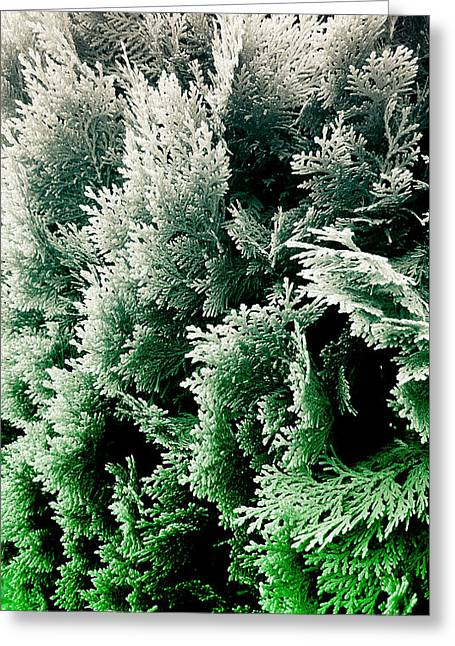 Cypress Branches No.5 Greeting Card