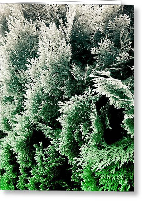 Cypress Branches No.5 Greeting Card