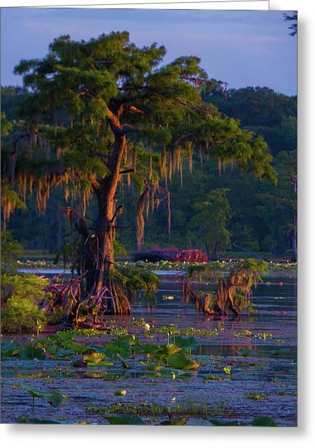 Cypress In The Sunset Greeting Card