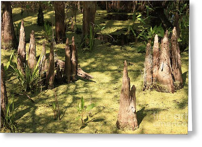 Cypress Knees In Green Swamp Greeting Card by Carol Groenen