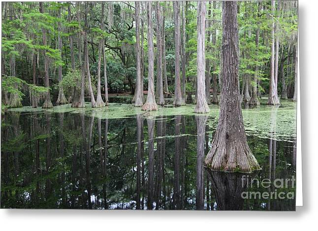 Cypress Swamp Greeting Card by Carol Groenen
