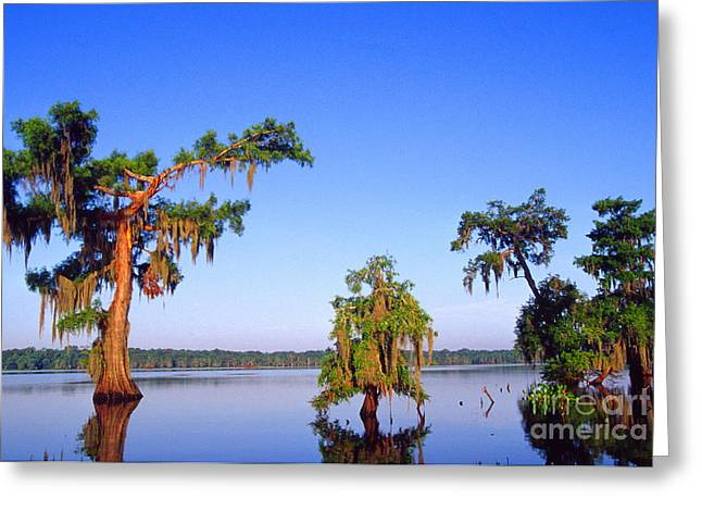 Cypress Trees In Morning Light Greeting Card by Thomas R Fletcher
