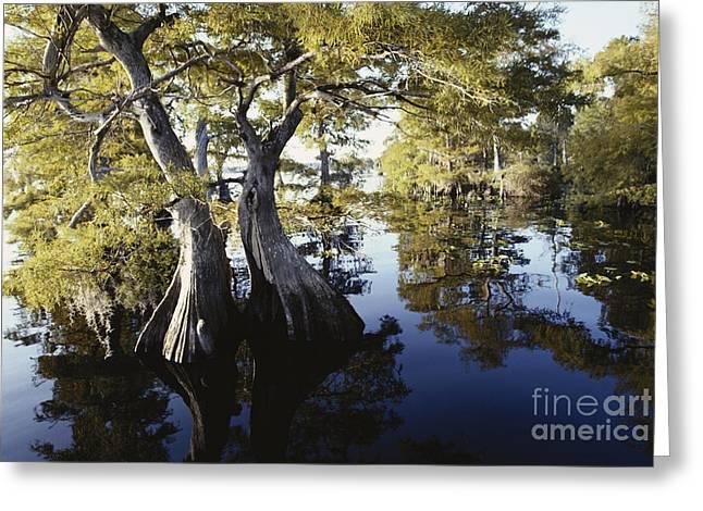 Cypresses In Lake Norris Greeting Card