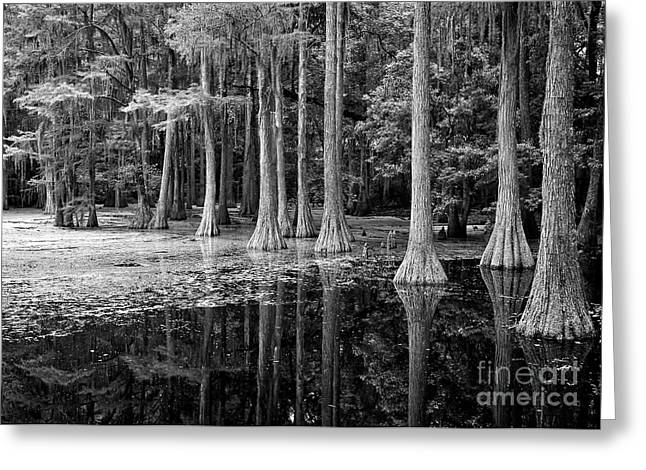 Cypresses In Tallahassee Black And White Greeting Card