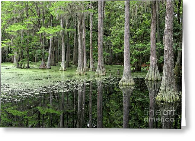 Cypresses In Tallahassee Greeting Card by Carol Groenen