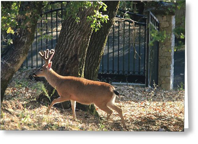 Greeting Card featuring the photograph D8b6336 8 Point Buck At Our Home Ca by Ed Cooper Photography