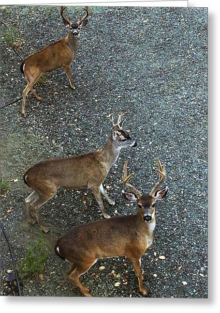 Greeting Card featuring the photograph D8b6353 3 Mule Deer Bucks Ca by Ed Cooper Photography