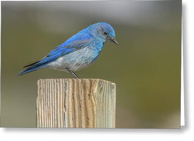 Daddy Bluebird Guarding Nest Greeting Card