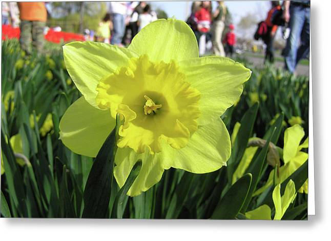 Daffodil Close Up Greeting Card by Richard Mitchell