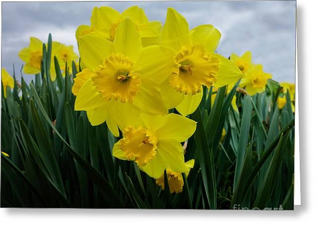 Daffodil Delight Greeting Card by Kim Henderson