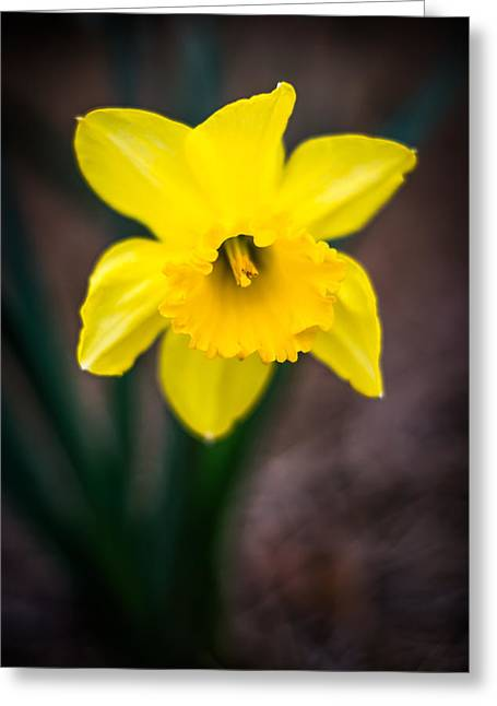 Daffodil Details Greeting Card by Shelby Young
