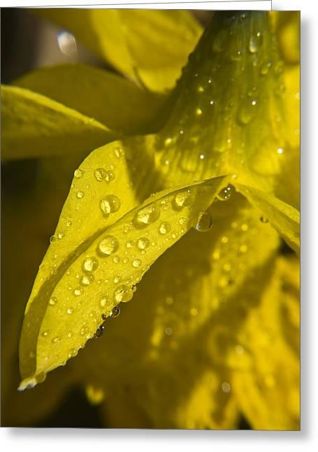 Daffodil Dew Greeting Card