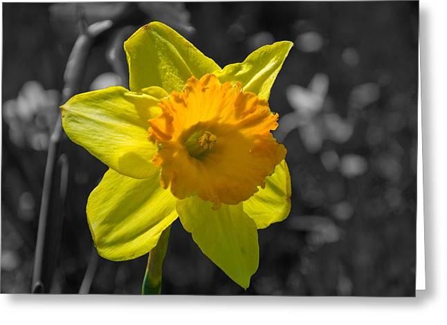 Daffodil Greeting Card by Eric Harbaugh