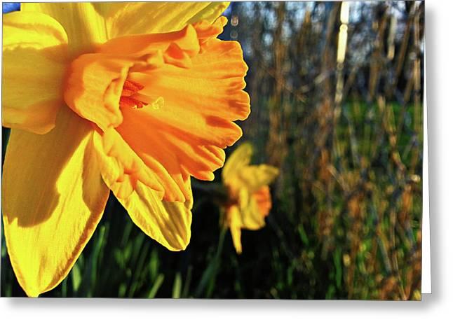 Daffodil Evening Greeting Card