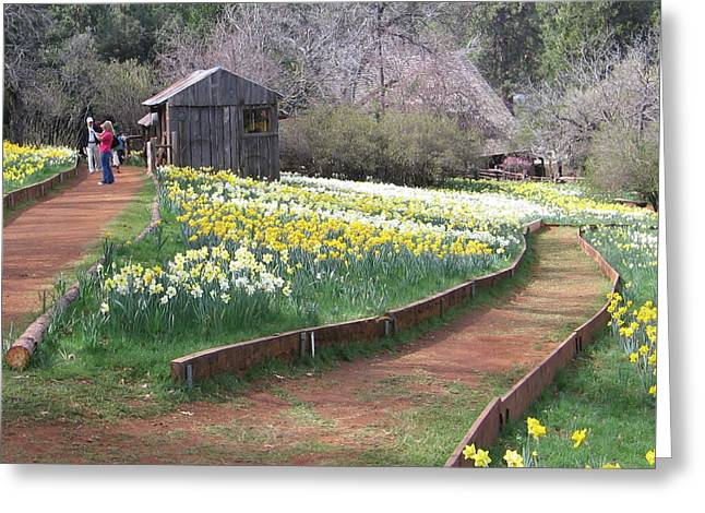 Daffodil Hill Pathway Greeting Card