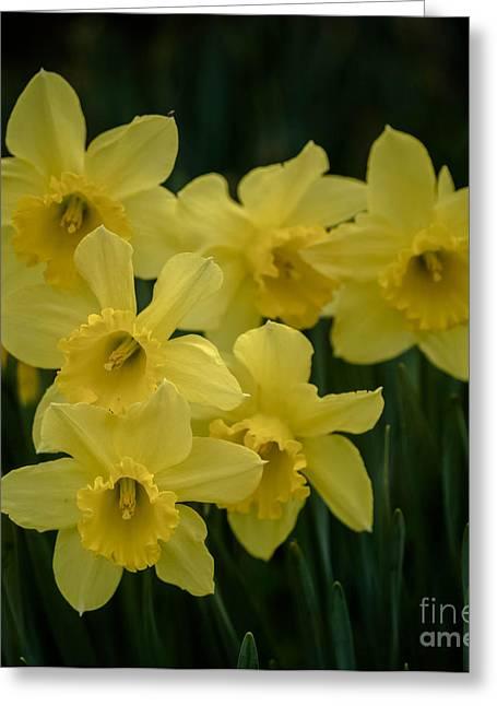 Daffodil Greeting Card by Kim Henderson