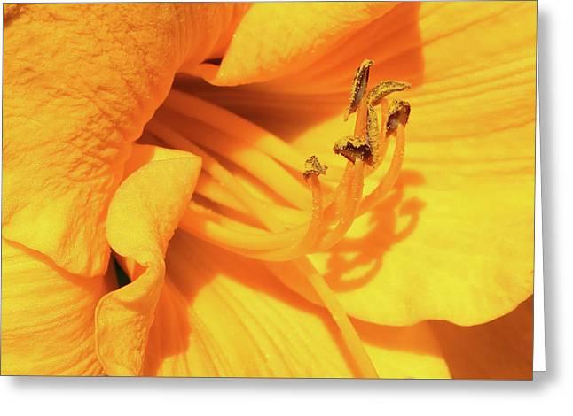 Daffodil - Peeping Tom 06 Greeting Card