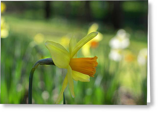 Daffodil Side Profile Greeting Card