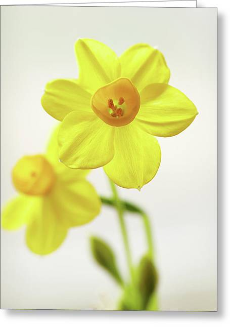 Daffodil Strong Greeting Card