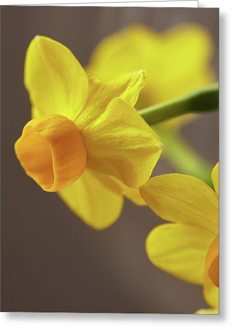 Daffodil Sunrise Greeting Card