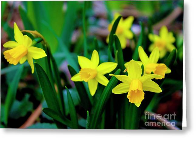 Daffodils A Symbol Of Spring Greeting Card