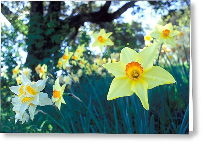 Daffodils And The Oak 2 Greeting Card by Kathy Yates