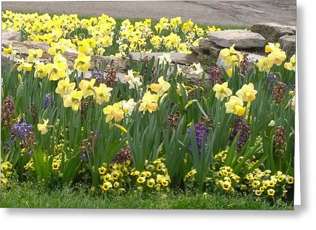 Daffodils  Greeting Card by Gayle Miller