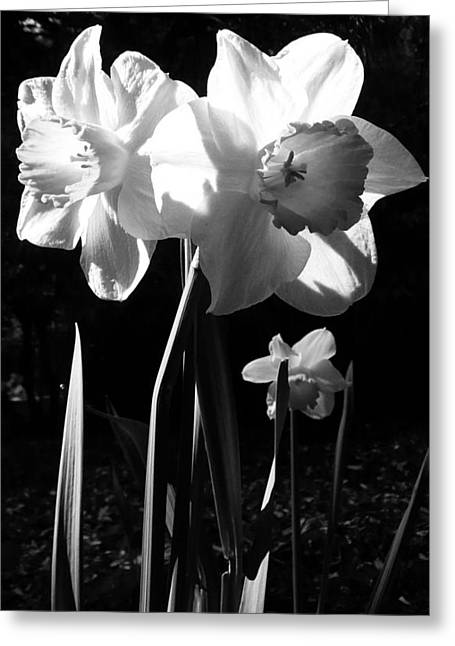 Daffodils In Sunlight Greeting Card