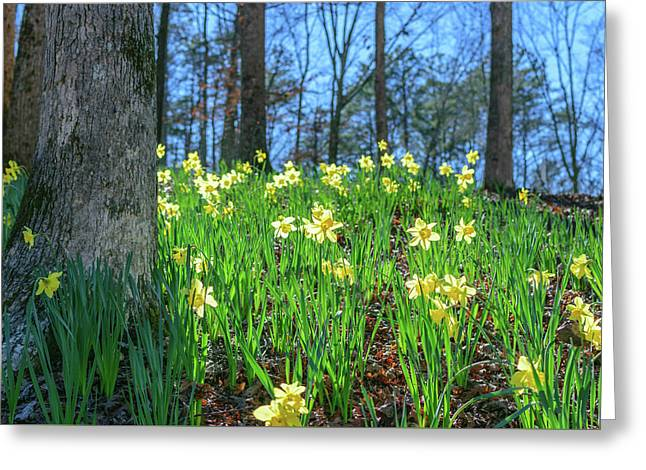 Daffodils On Hillside 2 Greeting Card