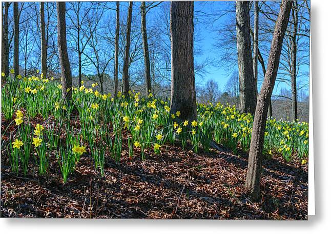 Daffodils On Hillside Greeting Card