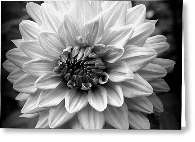 Greeting Card featuring the photograph Dahlia Art by Jeni Gray