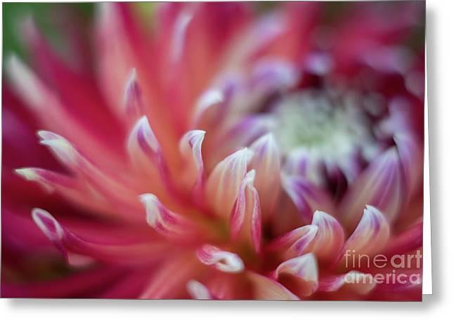 Dahlia Eye Of The Storm Greeting Card