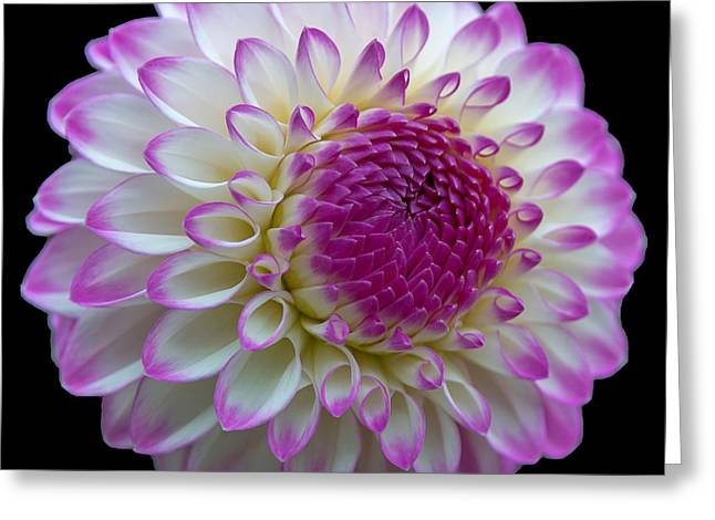 Dahlia Fine Art On Black Greeting Card
