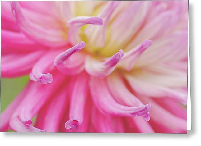 Dahlia Fingers  Greeting Card