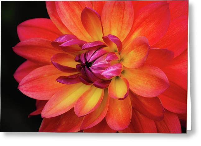 Dahlia Firepot  Greeting Card by Julie Palencia