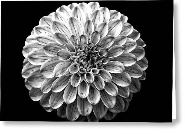Dahlia  Flower Black And White Square Greeting Card