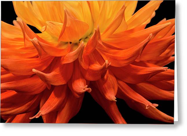 Dahlia Flower Closeup Greeting Card by Randall Nyhof