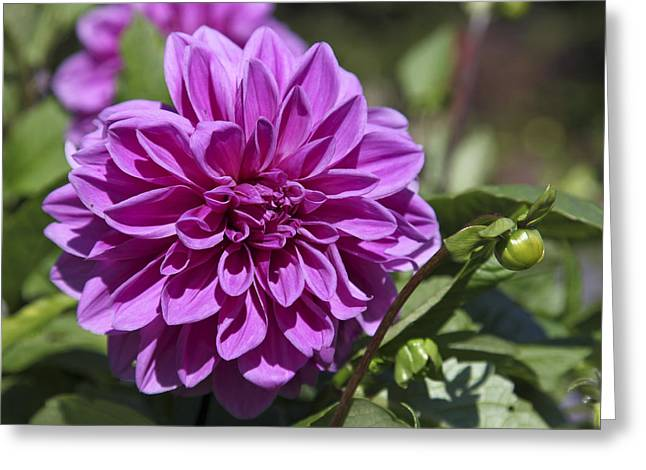Dahlia Greeting Card by Frank Russell