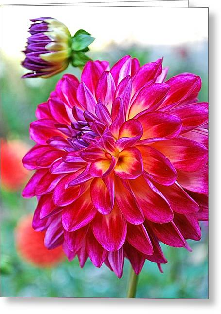 Dahlia Fuchsia Surprise  Greeting Card