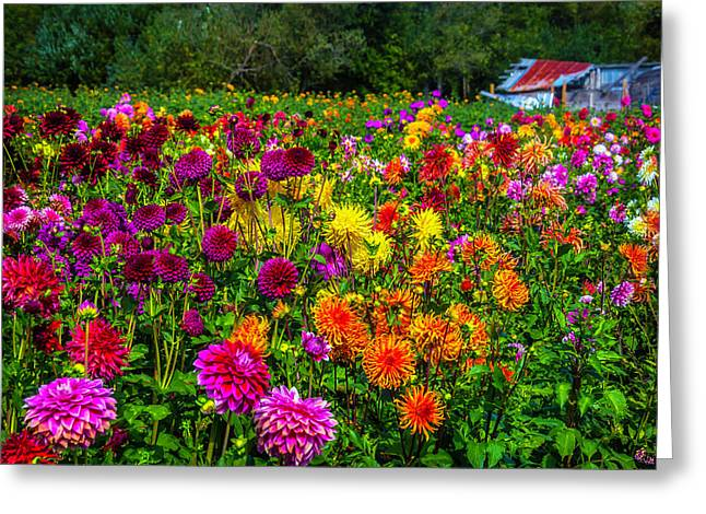 Dahlia Garden Oregon Greeting Card by Garry Gay