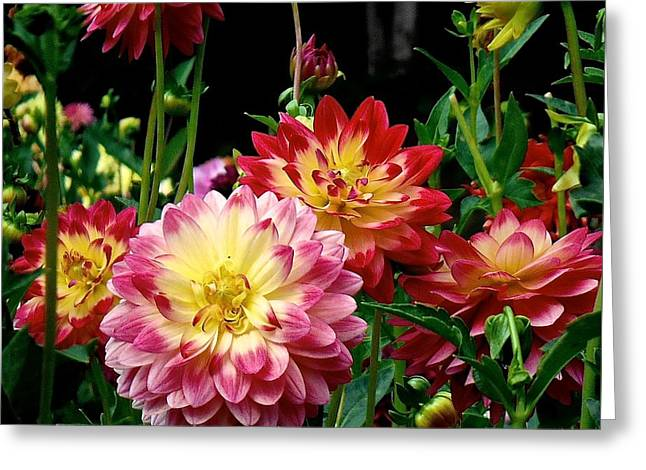 Dahlia Garden Time  Greeting Card