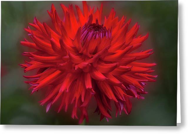 Dahlia 'hollyhill Miss Scarlet' Greeting Card