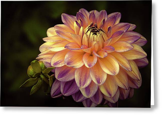 Greeting Card featuring the photograph Dahlia In Peach And Lavender by Julie Palencia