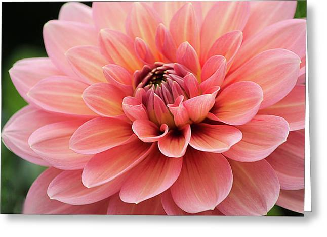 Greeting Card featuring the photograph Dahlia In Pink And Peach by Julie Palencia