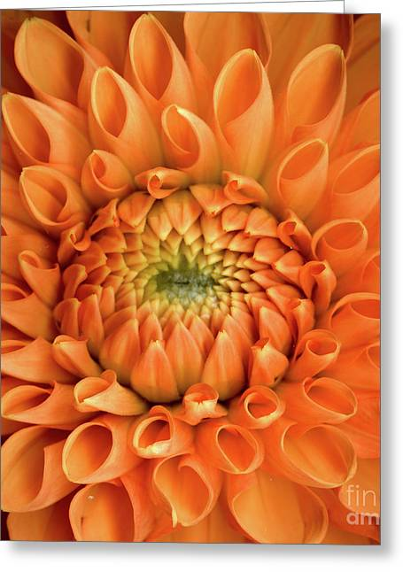 Dahlia Orange Twelve Greeting Card by Christopher Gruver