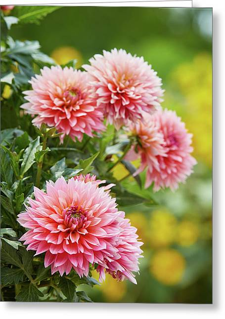 Dahlia Passion Fruit Greeting Card
